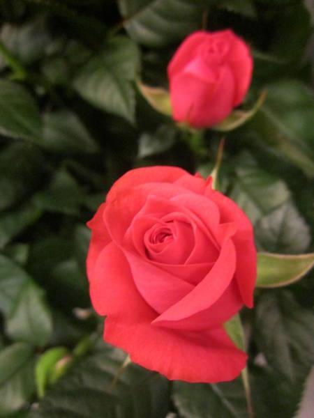 Roses In Red Art Print