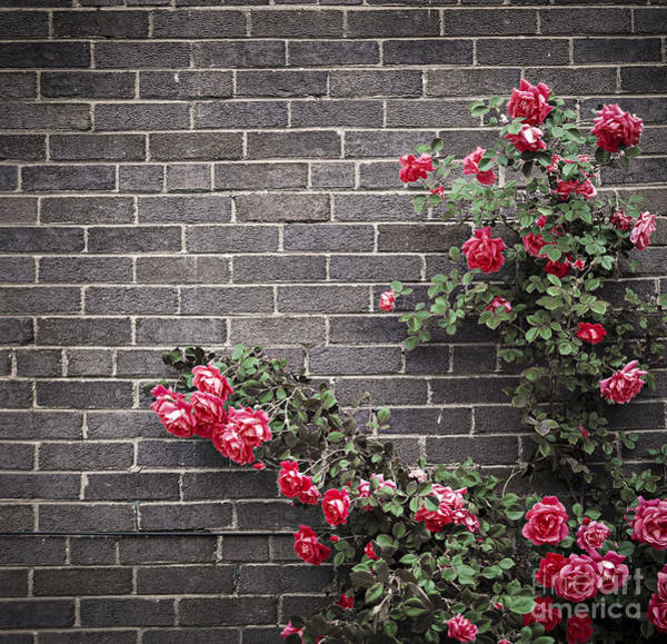 Pink Rose Photograph - Roses On Brick Wall by Elena Elisseeva