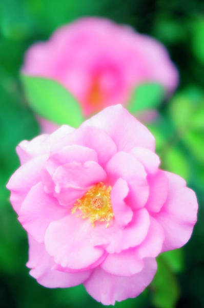 Hybrid Rose Photograph - Roses (rosa Sp.) by Maria Mosolova/science Photo Library