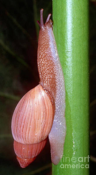 Duval County Photograph - Rosy Wolfsnail by Millard H. Sharp