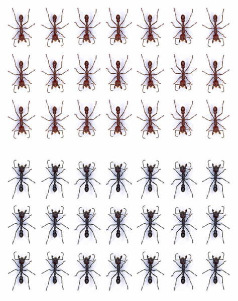 Rows Of Ants Art Print by Gustoimages/science Photo Library