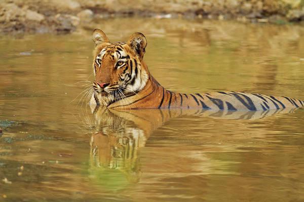 Bengals Photograph - Royal Bengal Tiger At The Waterhole by Jagdeep Rajput