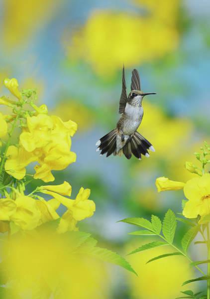 Wall Art - Photograph - Ruby-throated Hummingbird Female by Rolf Nussbaumer