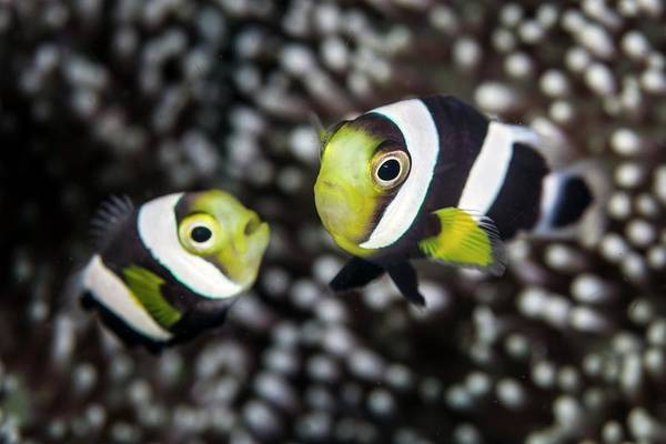 Anemonefish Photograph - Saddleback Anemonefish by Ethan Daniels