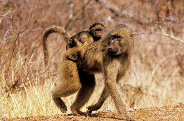 Savanna Photograph - Savanna Baboon by Tony Camacho/science Photo Library