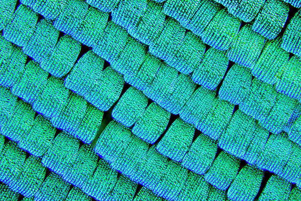 Grating Wall Art - Photograph - Sea Green Swallowtail Butterfly Wing Scales by Karl Gaff / Science Photo Library