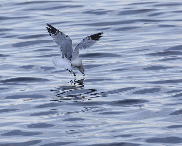 Photograph - Seagull by Jack R Perry