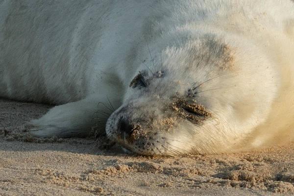 Pup Photograph - Seal Pup by Ian Hufton