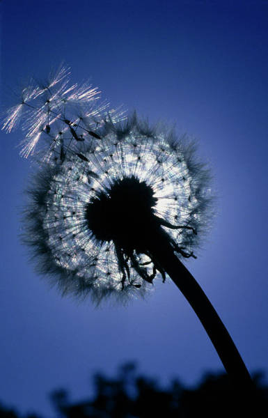 Taraxacum Photograph - Seed Head Of A Dandelion by Adam Hart-davis/science Photo Library