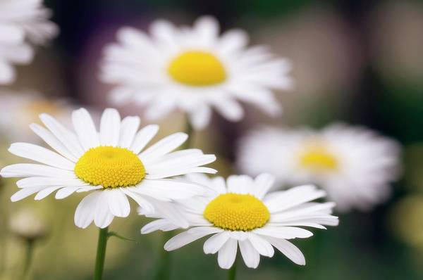 Wall Art - Photograph - Shasta Daisy (leucanthemum 'filigran') by Maria Mosolova/science Photo Library