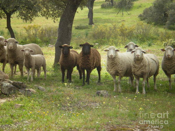 Sheep In Extremadura Art Print