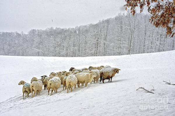 Photograph - Sheep In Snow by Thomas R Fletcher