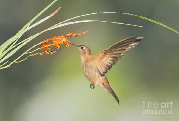 Photograph - Shining Sunbeam Hummingbird by Dan Suzio
