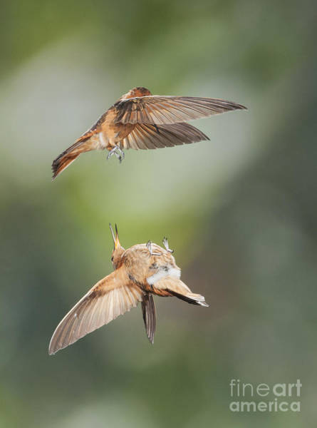 Photograph - Shining Sunbeam Hummingbirds by Dan Suzio