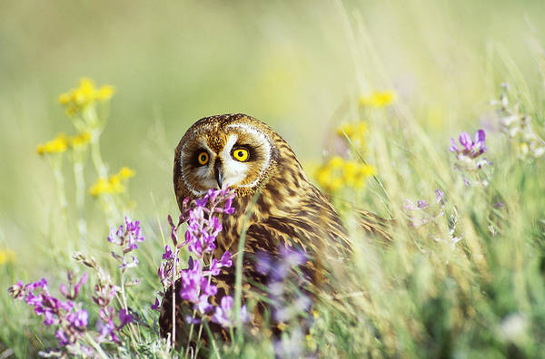 Wall Art - Photograph - Short-eared Owl by Thomas And Pat Leeson