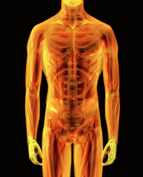 Skeletal Muscle Photograph - Skeleton by Gustoimages/science Photo Library