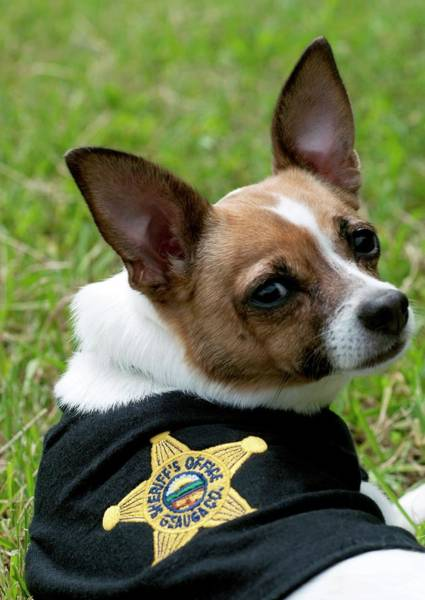Midge Photograph - Smallest Police Dog In The World by Louise Murray/science Photo Library