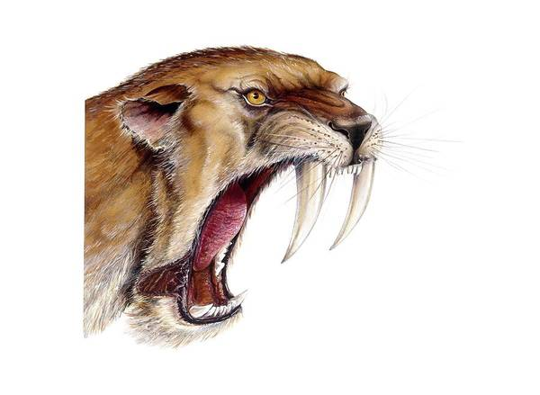 Wall Art - Photograph - Smilodon Sabretooth Cat by Michael Long/science Photo Library