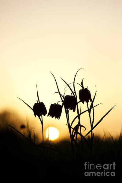 Fritillaria Photograph - Snakes Head Fritillary Flowers At Sunset by Tim Gainey
