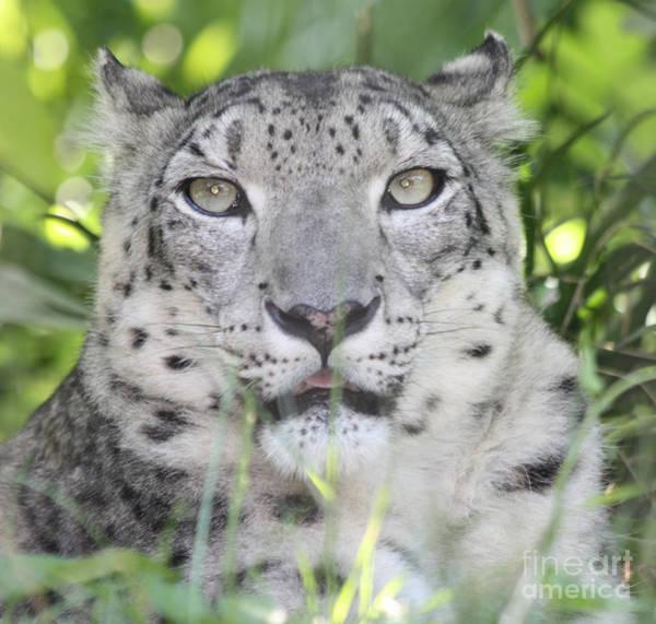 Wall Art - Photograph - Snow Leopard by John Telfer