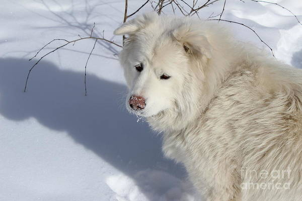 Great Pyrenees Photograph - Snowy Nose by Fiona Kennard