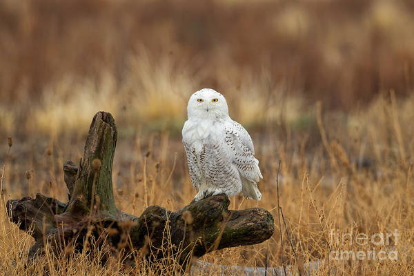 Wall Art - Photograph - Snowy Owl by Joshua Clark