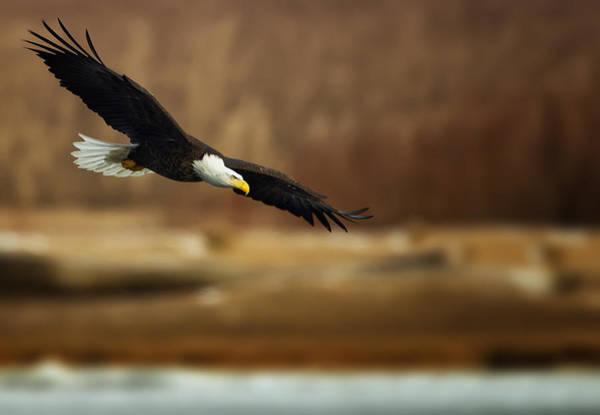 Photograph - Soaring Bald Eagle by Al  Mueller