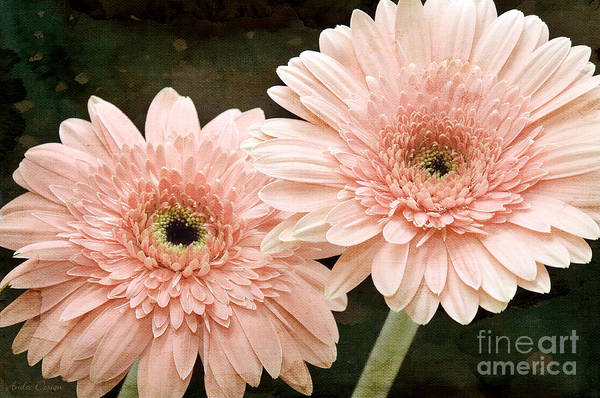 Photograph - 2 Soft Pink Painterly Gerber Daisies by Andee Design