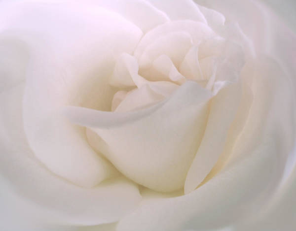 White Rose Photograph - Softness Of A White Rose Flower by Jennie Marie Schell