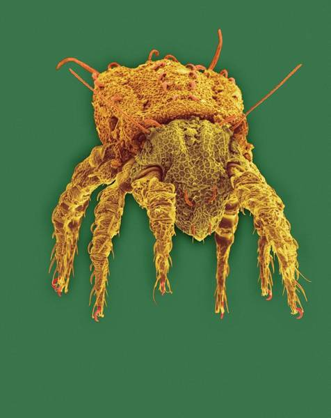 Soil Science Wall Art - Photograph - Soil Mite (northrus Sp.) by Dennis Kunkel Microscopy/science Photo Library