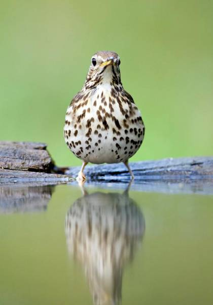 Wall Art - Photograph - Song Thrush by John Devries/science Photo Library