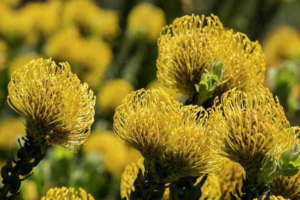 Proteaceae Photograph - South Africa, Cape Town by Cindy Miller Hopkins