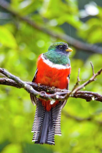 Trogon Photograph - South America, Costa Rica, San Gerardo by Jaynes Gallery