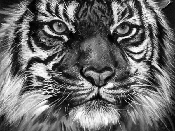 White Tiger Drawing - South China Tiger by Sharlena Wood