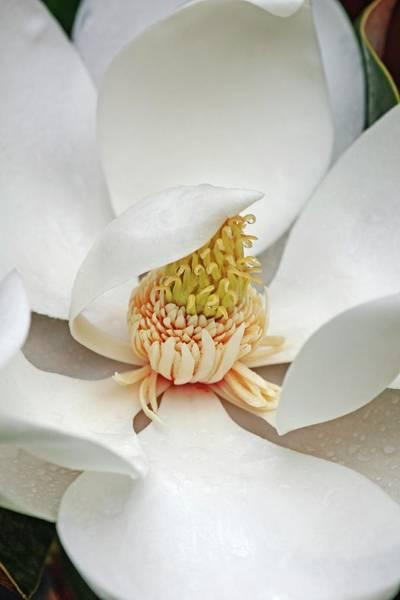 Carpel Photograph - Southern Magnolia (magnolia Grandiflora) by Dr. Nick Kurzenko