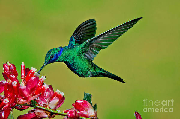 Colibri Photograph - Sparkling Violetear by Anthony Mercieca