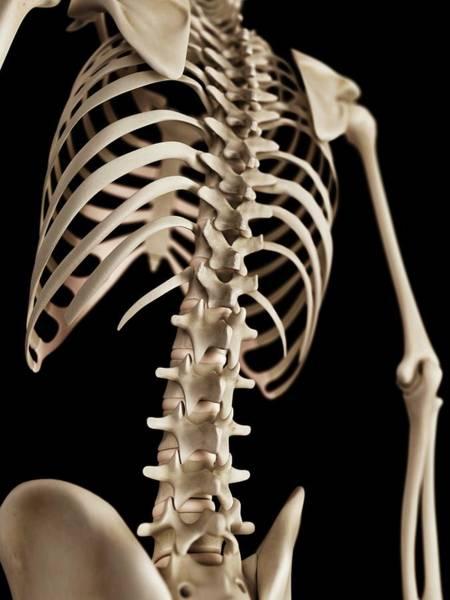 Skeletal System Photograph - Spine by Sebastian Kaulitzki