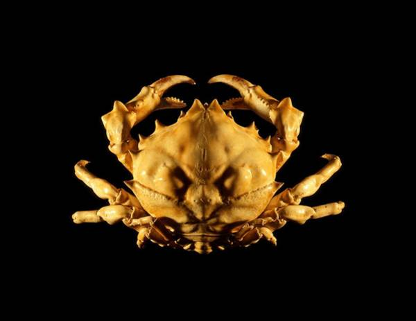 Chela Wall Art - Photograph - Sponge Crab by Science Photo Library