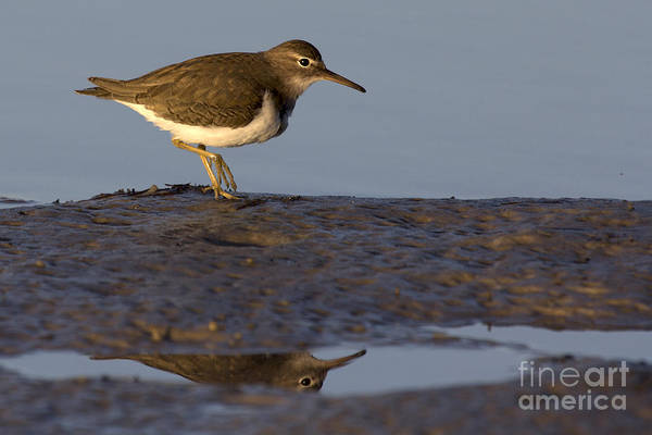 Spotted Sandpiper Reflection Art Print