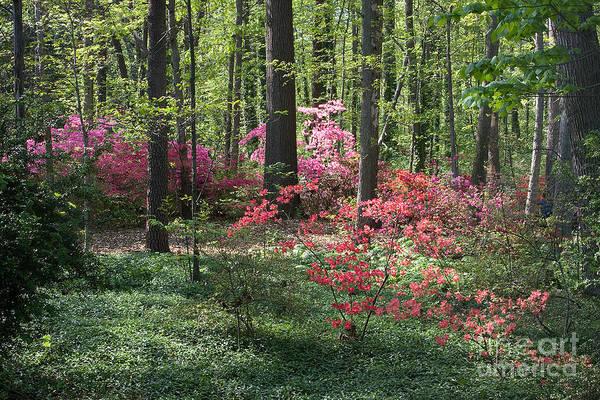 Photograph - Spring Azaleas by Chris Scroggins