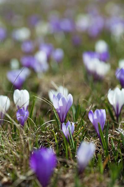 Alpine Meadows Photograph - Spring Crocus (crocus Vernus by Martin Zwick