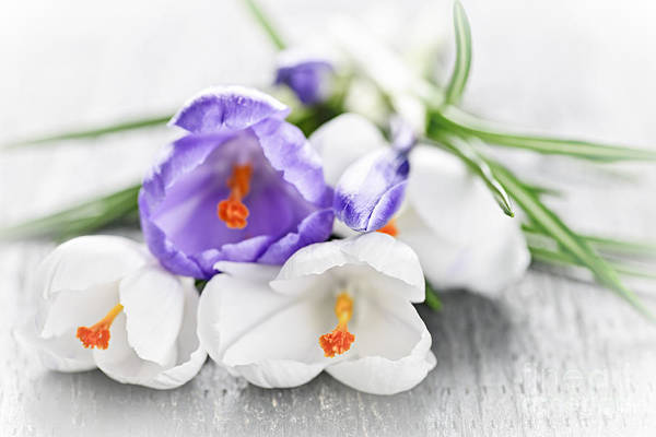 Laying Photograph - Spring Crocus Flowers by Elena Elisseeva