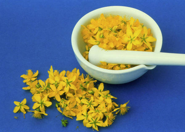 Softening Photograph - St John's Wort by Th Foto-werbung/science Photo Library