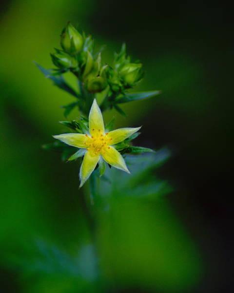 Photograph - Starflower by Ben Upham III
