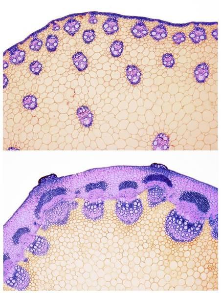 Dicotyledons Photograph - Stem Vascular Arrangement by Steve Gschmeissner/science Photo Library