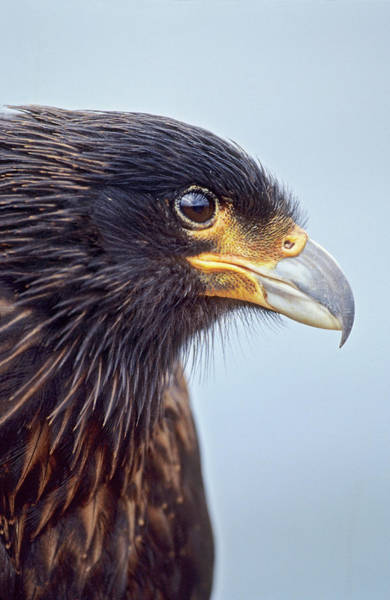 Rook Photograph - Striated Caracara Or Johnny Rook by Martin Zwick