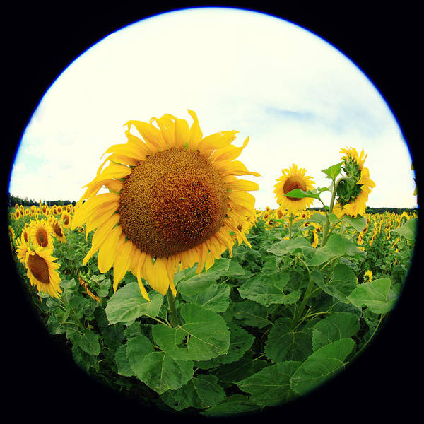 Wall Art - Photograph - Sunflower by Falko Follert