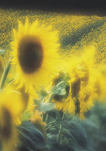 Helianthus Annuus Photograph - Sunflower Field by David Nunuk/science Photo Library