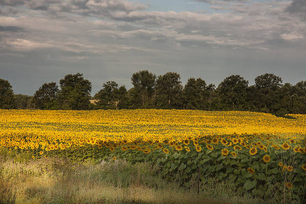 Photograph - Sunflower Field by Nick Mares