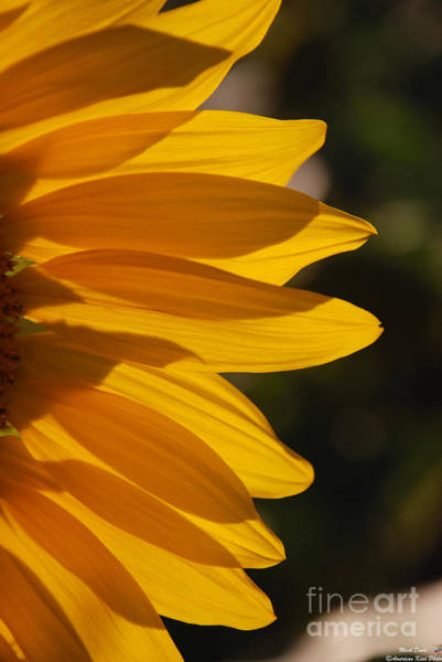 Photograph - Sunflower Petals by Mark Dodd